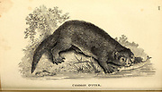 Otter from General zoology, or, Systematic natural history Part I, by Shaw, George, 1751-1813; Stephens, James Francis, 1792-1853; Heath, Charles, 1785-1848, engraver; Griffith, Mrs., engraver; Chappelow. Copperplate Printed in London in 1800. Probably the artists never saw a live specimen