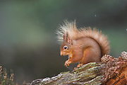 Red squirrel, Sciurus vulgaris, winter coat, on pinewood stump, Strathspey, Highland.