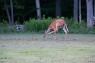 This white tailed deer paid me a visit in my year then stopped to scratch and itch.