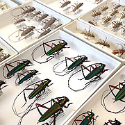 Longhorn beetles from the Dominican Republic that have been pinned, labeled and sorted after being collected in the forest.