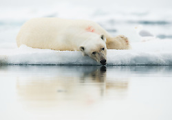 Polar bear (Ursus maritimus) on drifting ice in Svalbard, Norway
