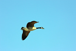 14 March 2008: Canadian geese fly past against a bright blue sky (Photo by Alan Look)