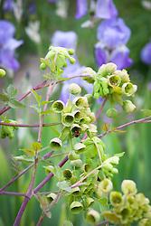 Mathiasella bupleuroides 'Green Dream' with Iris pallida subsp. pallida syn. Iris pallida var. dalmatica