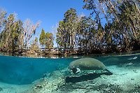 """A Florida manatee rests in the warm spring water enhanced by direct sunshine near Big Sister Spring. It is the middle of the winter season when manatees come to the freshwater springs to stay warm. To the far left underwater markers are set to delineate manatee only resting areas. The public boardwalk that recently opened, invites land visitors to observe manatees while staying warm and dry. As of 2015 the boardwalk is operated by the City of Crystal River but is still part of the Crystal River National Wildlife Refuge, Kings Bay, Crystal River, Citrus County, Florida USA. Florida manatee, Trichechus manatus latirostris, a subspecies of the West Indian manatee, IUCN Endangered but proposed downlisting to Threatened by USFWS for 2017: http://www.iucnredlist.org/details/22106/0. Nikon d7200 1/125 f13 Tokina 10-17 at 10mm ISO 320 Subal Underwater Housing, Subal 8"""" dome port, natural light. Post-processing is normal listed actions that are not """"beyond""""."""