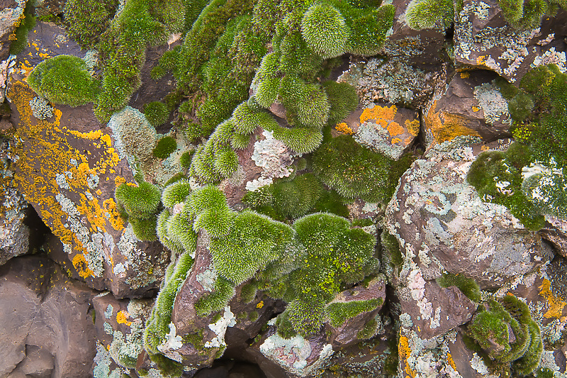 This wildly colorful community of mixed lichen and an (as yet) unidentified moss covered the basalt cliffs in rural Central Washington north of Ephrata in the middle of January.