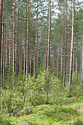 View of Pine Forest, Kuhmo, Finland, Lentiira, Vartius near Russian Border, foraging in forest