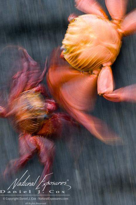 Sally Lightfoot Crab (Grapsus grapsus) Dueling. Galapagos Islands, Ecuador
