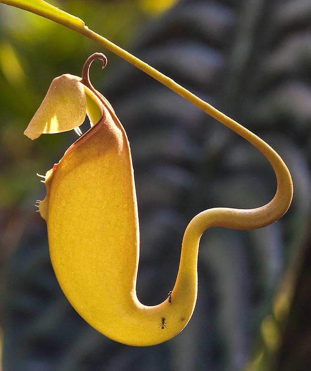 Pitcher Plant Arabesque