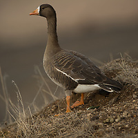 specklebelly goose standing in a field.