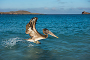 Brown Pelican (Pelecanus occidentalis urinator)<br /> Española Island<br /> Galapagos<br /> Ecuador,  South America