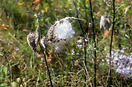 Seeds spill from seed pods on a Milkweed plant (likely Swamp Milkweed - Asclepias incarnata) in the Parc national de Plaisance in Plaisance, Québec, Canada. Swamp Milkweed is also known as Rose Milkweed, Pink Milkweed, and White Indian hemp.