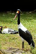 Avifauna, Europa's grootse vogelpark. / Avifauna - the largest bird sanctuary in Europe Op de foto / On the photo: Afrikaanse Zadelbekooievaar ( Ephippiorhynchus senegalensis ) / Saddle-billed stork