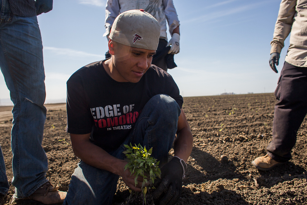 Farmworkers with MTD Farms plant tomatoes in a field near Firebaugh, CA. The most severe drought in recent history will likely mean that the tiny tomato sprouts will not be watered and may die before they can bear fruit. April 13, 2015.
