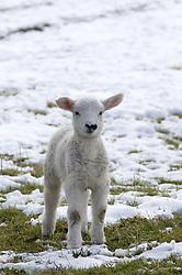 July 21, 2019 - Lamb In Snow (Credit Image: © John Short/Design Pics via ZUMA Wire)