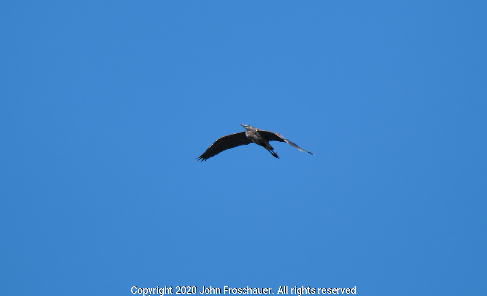 Blue Heron fly against a blue sky, Friday, July 10, 2020, near Sequim WA. (Photo/John Froschauer)