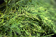 Close up selective focus photograph of Dill Plants