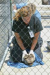 Working On Northern Elephant Seal Marine Mammal Center