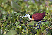 African Jacana (Actophilornis africanus) from Albert Nile at Lake Albert, Uganda.