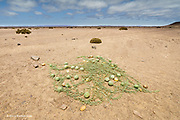 In the middle of a near barren Namib Desert, looking like a fishing net with floats entwined, bitter Tsamma melons (Citrullus ecirrhosus) or Namib tsamma, a species of perennial desert vine can be found growing in the baked earth.<br /> <br /> It is a gourd, and can be found in Namibia and South Africa, but particularly the Namib Desert.<br /> <br /> It can be a vital source of water and when cooked can be eaten. There are sweeter varieties.