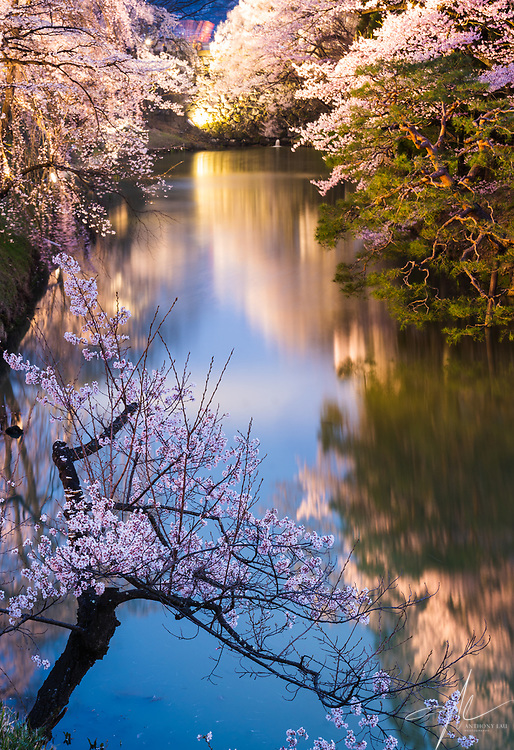 A perfectly shaped Sakura tree in between even twilight and warm city light.