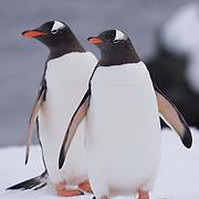 Pair of Gentoo penguin. Half Moon Island. Antarctica.