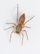 Clubiona comta - Female. A smaller spider than Clubiona corticalis but has a similar dark pattern on the abdomen. It is a common spider living in leaf litter and in trees and bushes hunting through the vegetation at night.
