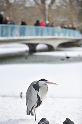 "© Licensed to London News Pictures. 28/02/2018. LONDON, UK. A heron stands beside the frozen lake in St James's Park as arctic conditions brought in by a weather system dubbed ""The Beast from the East"", brings snow to the capital.  The Met Office has issued amber and yellow alerts for much of the UK as freezing conditions are forecast to continue for the next few days.  Photo credit: Stephen Chung/LNP"