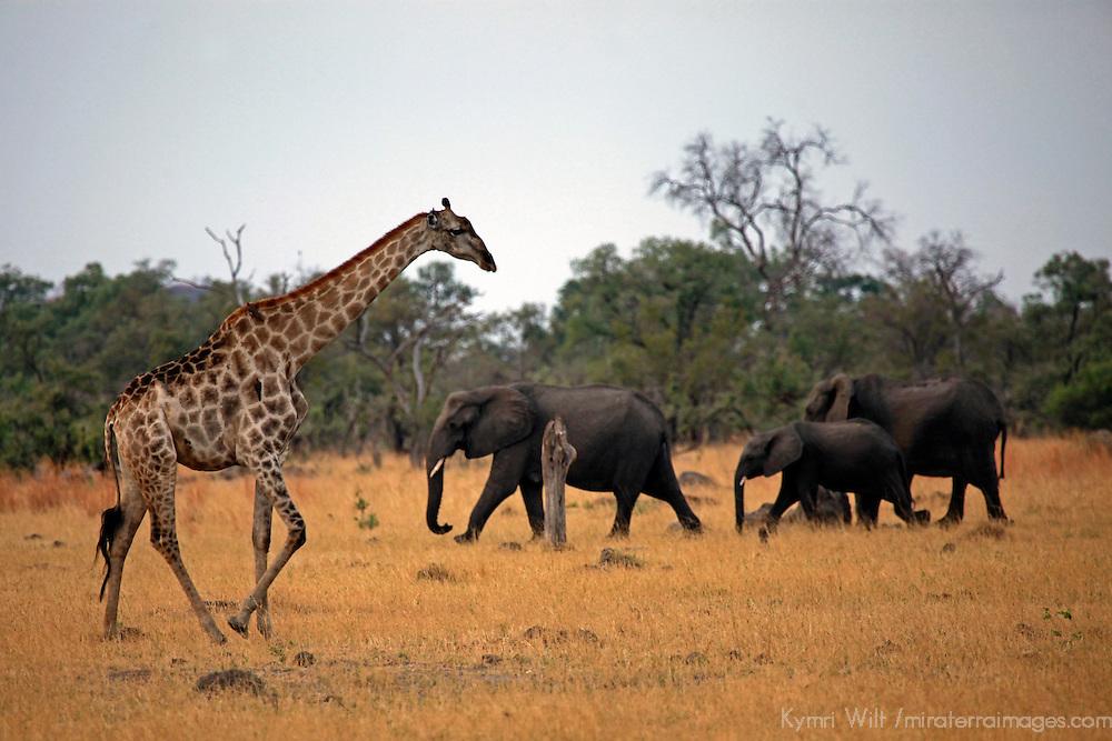 Africa, Botswana, Savute. Giraffe and Elephants of Chobe.