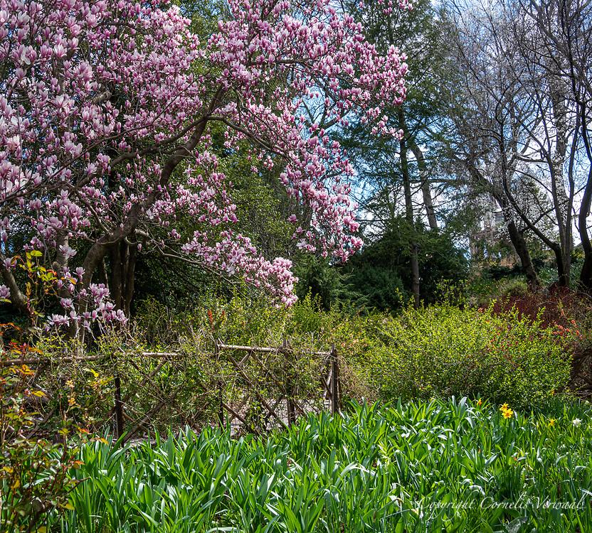 Shakespeare Garden in Central Park today April 2, 2020.