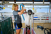 16 JULY 2020 - BOONE, IOWA: CAMRYN ASKELSEN, 12, grooms her sheep on the first day of the Boone County Fair in Boone. Summer is county fair season in Iowa. Most of Iowa's 99 counties host their county fairs before the Iowa State Fair. In 2020, because of the COVID-19 (Coronavirus) pandemic, many county fairs were cancelled, and most of the other county fairs were scaled back to concentrate on 4H livestock judging. Boone county scaled back its fair this year. The Iowa State Fair was cancelled completely. Boone County Emergency Management did not approve going ahead with the fair, and has advised anyone who goes to the fair to take precautions and monitor themselves for symptoms of the Coronavirus.             PHOTO BY JACK KURTZ