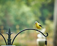 American Goldfinch. Image taken with a Nikon D850 camera and 200 mm f/2 VR lens.