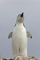 Chinstrap Penguin (Pygoscelis antarctica) on Useful Island, Gerlache Strait.
