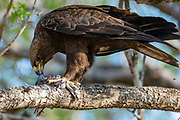 Wahlberg's eagle (Hieraaetus wahlbergi) feeding on a newly killed laughing dove in Kruger NP, South Africa.
