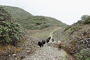 Yaks follow the ancient route between the two Brokpa villages of Merak and Sakteng in Eastern Bhutan. The trail is only passable on foot and passes over the Nachung-La mountain pass (4153m) and is the only direct route between the two Brokpa villages.