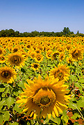 Sunflowers field in the region of Alentejo, in southern Portugal.