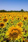 Sunflowers field in the region of Alentejo, in southern Portugal.
