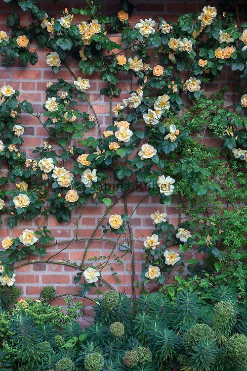 Rosa 'Maigold' - climbing rose