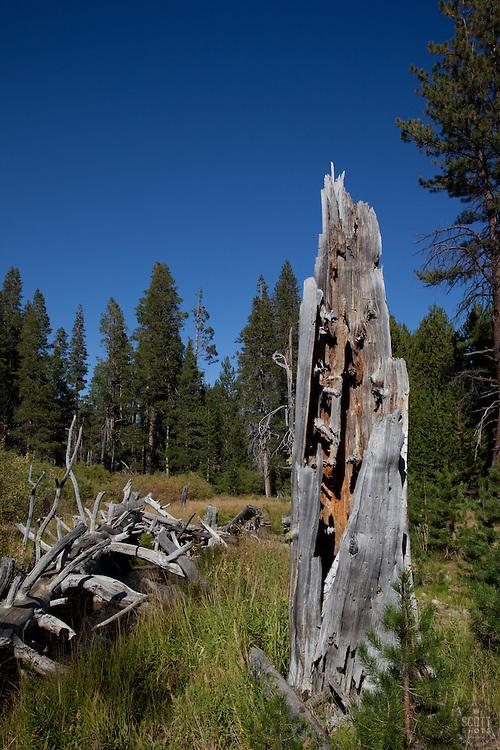 Dead tree in Tahoe.