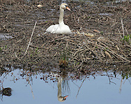 Monroe, New York - A female mute swan sits on its nest in a pond on April 24, 2010.