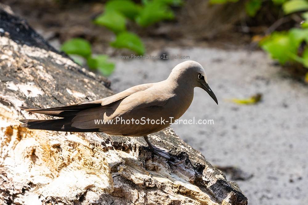Common noddy The common, or brown, noddy (Anous stolidus) is a tropical seabird and the largest of the noddies. Photographed on Bird Island, Seychelles.