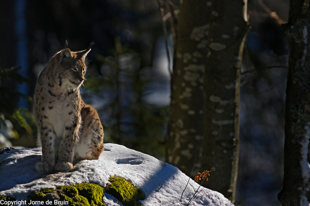 A female European Lynx in a snowy forest in the wildlife park of the Bavarian Forest National Park