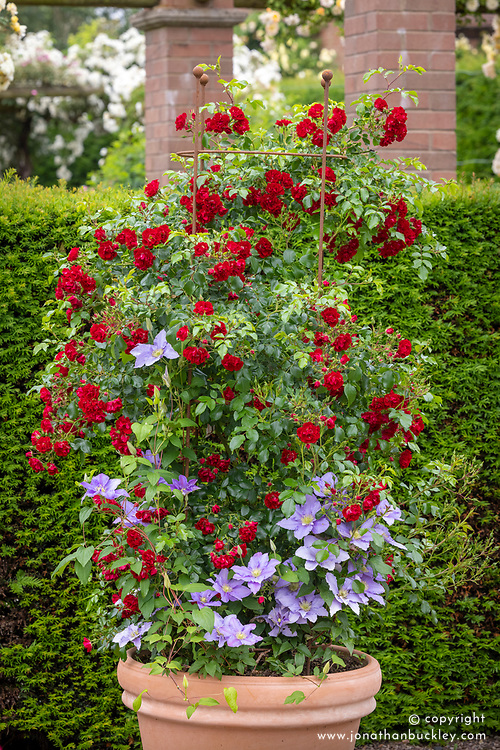 Container with Rosa 'Rambling Rosie' syn. 'Horjasper' with Clematis 'Cezanne'