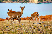 Sika deer (Cervus nippon), also known as the spotted deer or the Japanese deer. Photographed on Kinkasan (or Kinkazan) island in Miyagi Prefecture in north-eastern Japan in November