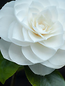 Camellia :: Gallery