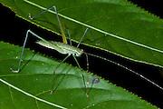 Katydid Nymph (Pseudophylinae)<br /> Yasuni National Park, Amazon Rainforest<br /> ECUADOR. South America