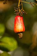 Cashew Fruit (Anacardium occidentale)<br /> Savannah<br /> Rupununi<br /> GUYANA. South America<br /> RANGE: Native to North East Brazil