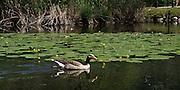 Anatra e ninfee sul Lago di Segrino..Duck and waterlily on Segrino lake