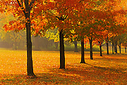 Sugar maple trees in autumn color<br /> Guelph<br /> Ontario<br /> Canada
