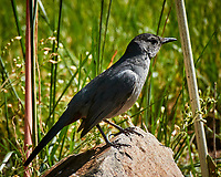 Gray Catbird. Image taken with a Nikon D5 camera and 600 mm f/4 VR lens