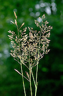 COMMON BENT Agrostis capillaris (Poaceae) Height to 70cm<br /> Creeping perennial that grows in grassland, mainly on acid soils. FLOWERS are greenish brown spikelets that are borne in heads with spreading, whorled branches (Jun-Aug). FRUITS are small, dry nutlets. LEAVES are narrow with blunt ligules. STATUS-Widespread and locally common throughout the region.
